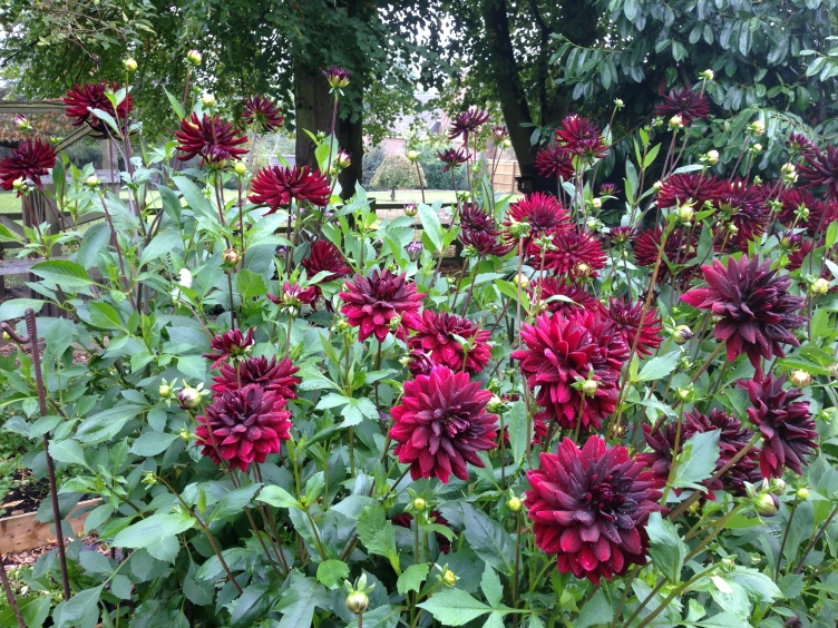 Dahlia Veg Bed Chat and Sam H