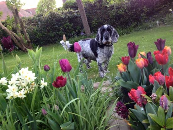 Archie, Tip toe through the Tulips
