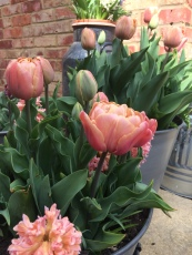 Bulb Lasagna, Tulips La Belle Epoque, Hyacinth Gypsy Queen