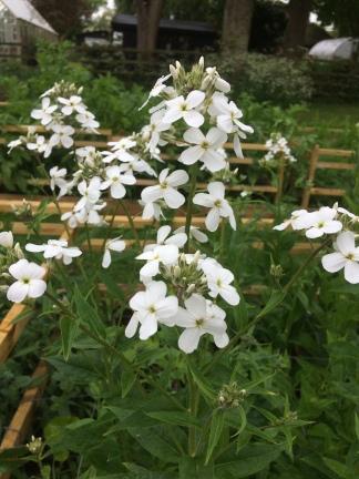Hesperis (Sweet rocket) White grown at Swan Cottage Flowers
