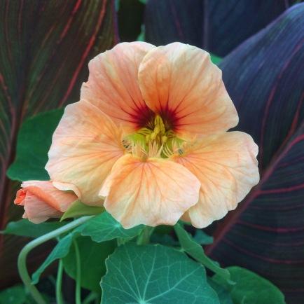 Nasturtium Apricot Desire (British Seasonal Flowers)
