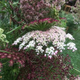 Daucus carota, Wild Carrot or False Queen Anne's Lace