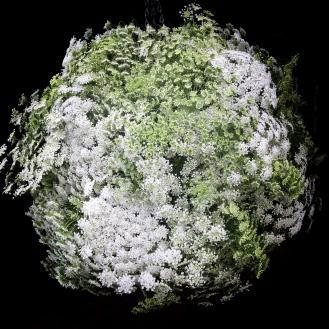 Ammi Majus Flower Bomb, Swan Cottage Seasonal Flowers