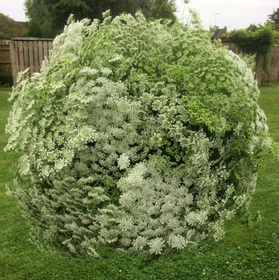 A Flower Bomb! Ammi majus Flower Globe at Swan Cottage Flowers, Buckinghamshire near Milton Keynes