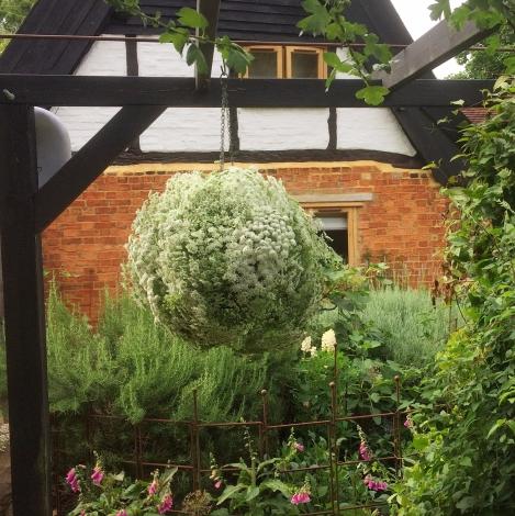 Ammi majus Flower Bomb at Swan Cottage Garden