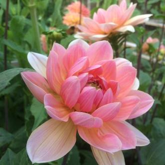 Dahlia Apricot Desire, the prefect blush Apricot wedding flower
