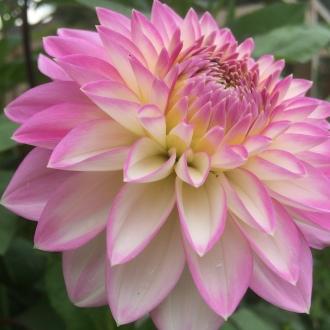 Dahlia Arbatax,, British Seasonal Flowers Grown here at Swan Cottage Flowers, Buckinghamshire