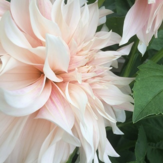 Pillows of perfection, Cafe Au Lait Dahlia's grown at Swan Cottage Flowers, British Seasonal Flowers for Weddings and Events