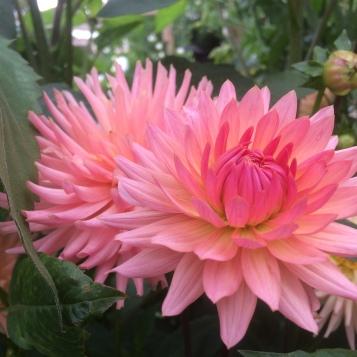 Dahlia Preference grown a Swan Cottage Flowers, Buckinghamshire