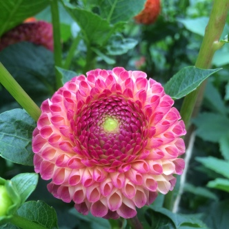 Dahlia Burlesca, British Seasonal Flowers Grown at Swan Cottage Flowers by Zoe and Neil Woodward