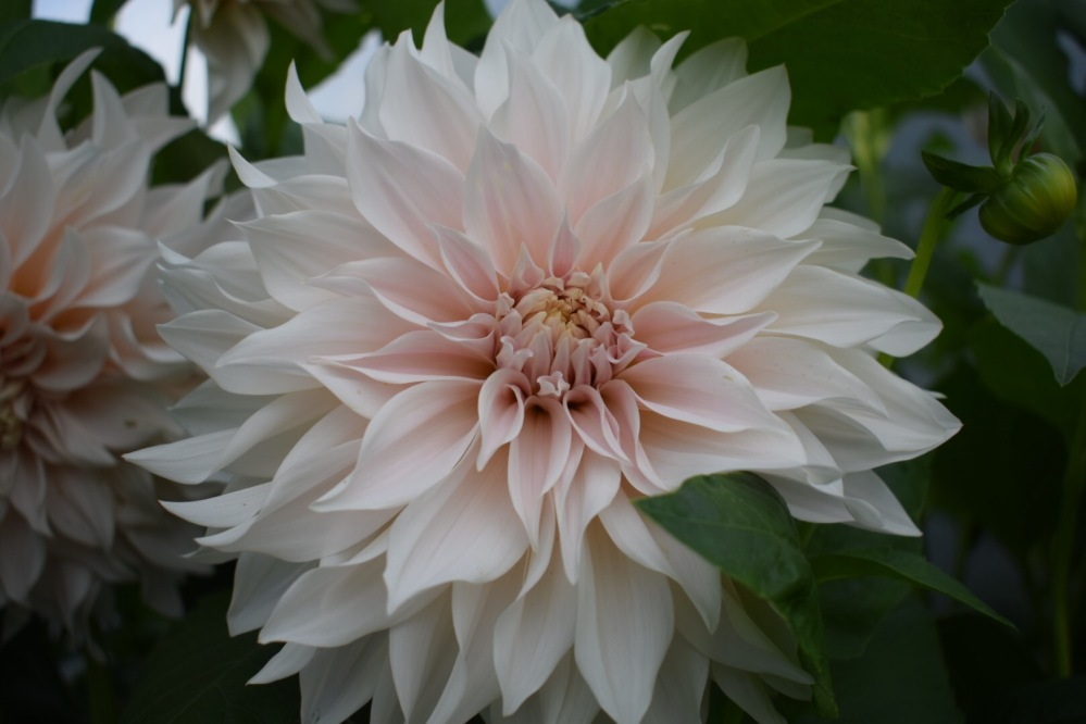 Dahlia Cafe Au Lait, needs no introduction! Large decorative dahlia with flowers the subtlest hue of pinky cream