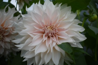Dahlia Cafe Au Lait, a Bridal Bouquet right there - British Seasonal Wedding and Event Flowers, growing at Swan Cottage Flowers