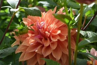 Dahlia Sherwood's Peach, Seasonal British Cut Flowers just outside London
