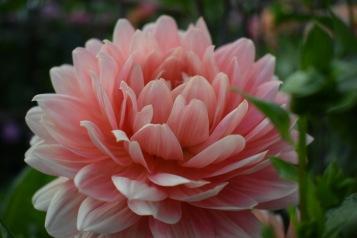 Dahlia Carolina Wagamans grown at Swan Cottage Flowers, Buckinghamshire
