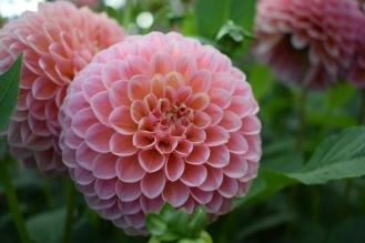 Dahlia Linda's Baby British and Seasonal Cut Flowers