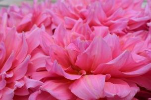 Dahlia 'Otto's Thrill' AGM, Swan Cottage Seasonal Wedding Flowers