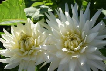 Dahlia My Love grown at Swan Cottage Flowers, British Seasonal Wedding Flowers