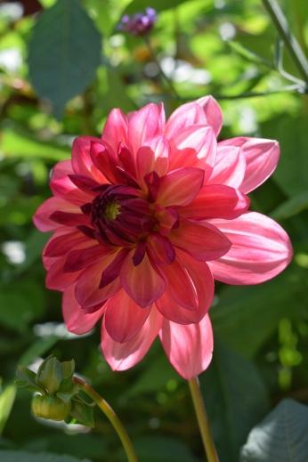 British Flower Dahlia Bacardi