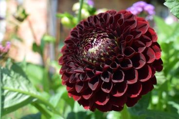 Dahlia Jowey Mirella grown at Swan Cottage Flowers, British Seasonal Wedding Flowers