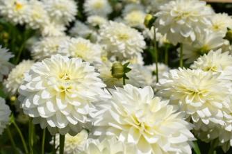 Dahlia Karma Serena grown at Swan Cottage Flowers, British Seasonal Wedding Flowers
