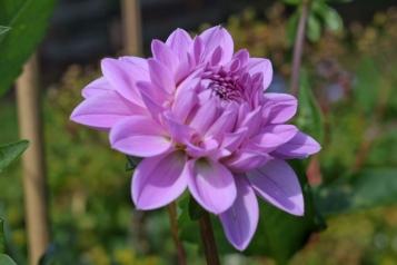 Dahlia Karma Lagoon grown at Swan Cottage Flowers, British Seasonal Wedding Flowers