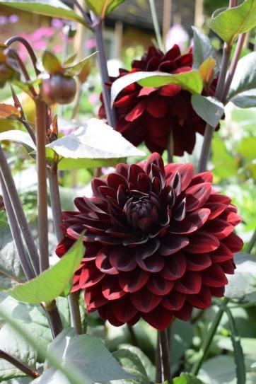 Dahlia Karma Chocolate grown at Swan Cottage Flowers, British Seasonal Wedding Flowers