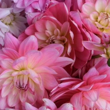 100% British Flowers Dahlia Gerrie Hoek