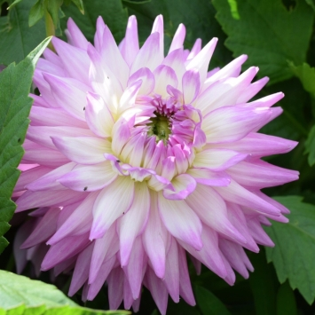 Dahlia Karma Amanda, British Seasonal Wedding Flowers