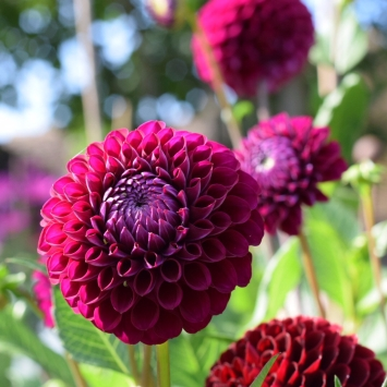Dahlia Downham Royal, a favourite for DIY Wedding Flower Buckets!