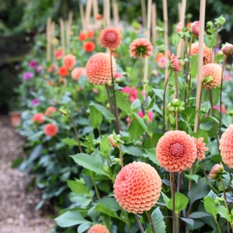 Dahlia Cornel Brons, Swan Cottage Flowers, Flower Farm growing Wedding flowers in Buckinghamshire