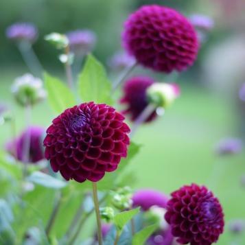 Dahlia Downham Royal, DIY Wedding Flowers, Swan Cottage Flowers