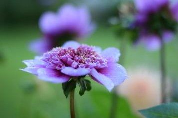 Dahlia 'Blue Bayou', rare and unusual, Swan Cottage British Flowers