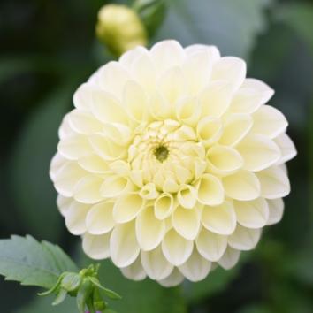 British Flowers Dahlia Boom Boom Yellow