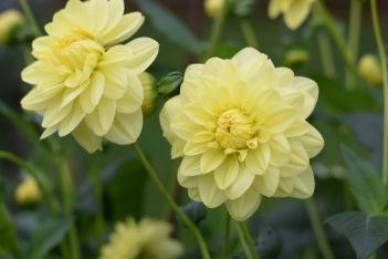 British Flowers Dahlia 'Glorie van Heemstede'