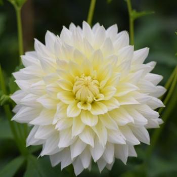 British Flowers Dahlia 'Canary Fubuki'