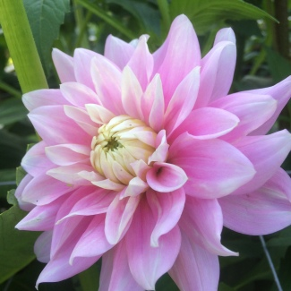 Dahlia bracken ballerina grown a Swan Cottage Flowers, Buckinghamshire