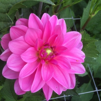 Dahlia Onesta grown a Swan Cottage Flowers, Buckinghamshire