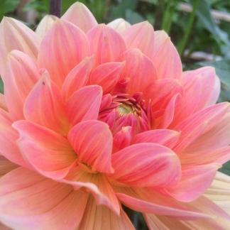 Dahlia Mister Frans, grown a Swan Cottage Flowers, Buckinghamshire