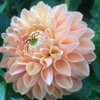 Dahlia 'Hamilton Lillian' Swan Cottage Seasonal Wedding Flowers