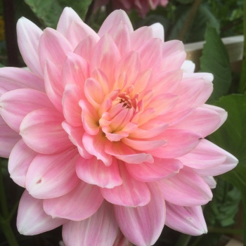 Dahlia Gerrie Hoek, the prefect blush pink waterlily shaped wedding flower