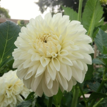 Dahlia 'Boom Boom White' neat and perfect for a Bridal Bouquet