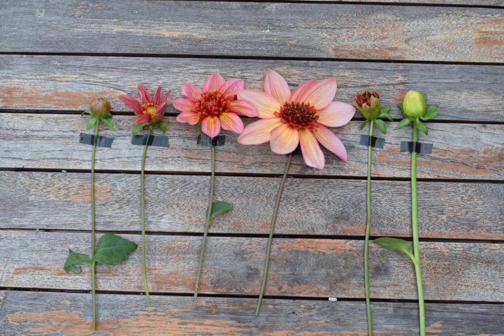 Dahlia Flower Life Cycle
