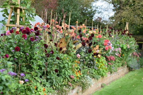 Dahlias, should you lift them or leave them in the ground?