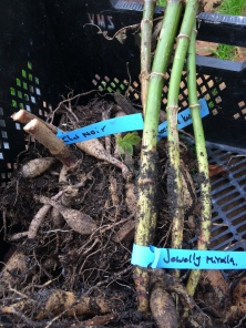 Dahlias, make sure you label your plants! Like Tulips, they all look the same when they are sleeping!