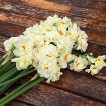 Narcissus (Daffodil) Sir Winston Churchill