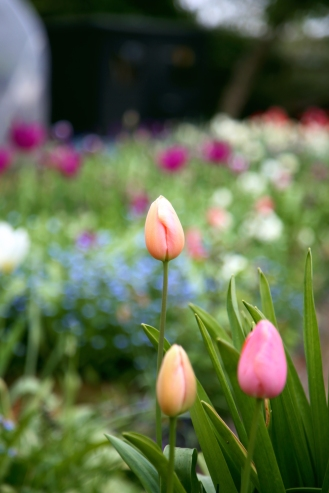 Tulips April