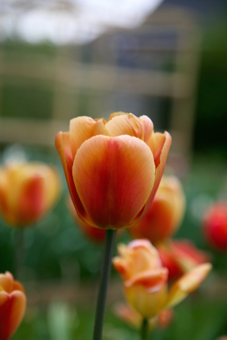 Scented Tulips