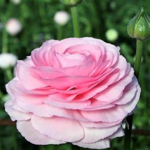 Italian Ranunculus Rosa Chiaro