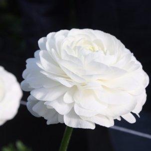 Italian Ranunculus Bianco