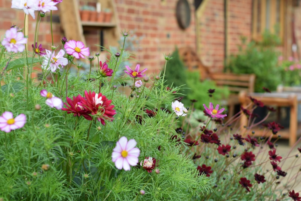 Gardening in a small space, Pots of Dahlias and Cosmos, Swan Cottage Flowers